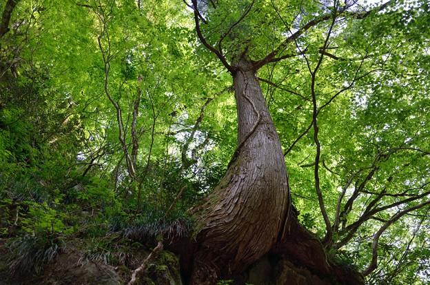 お化けの木と勝手に命名(^q^)