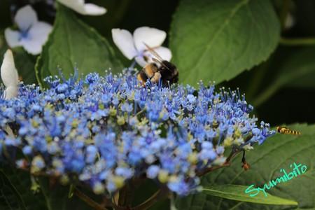 額紫陽花と蜂