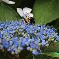 Photos: 額紫陽花と蜂