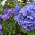 Photos: 紫陽花 8月14日