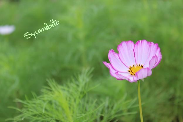 Photos: ピンクの秋桜