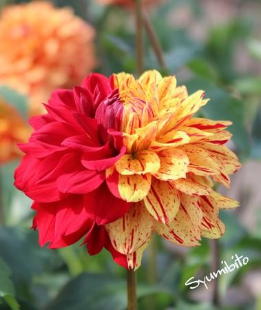 奇跡の花(ダリア)