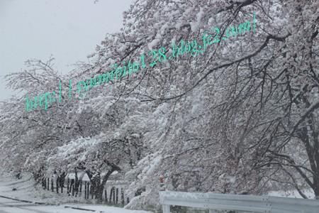 桜満開・・??