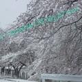 Photos: 桜満開・・??