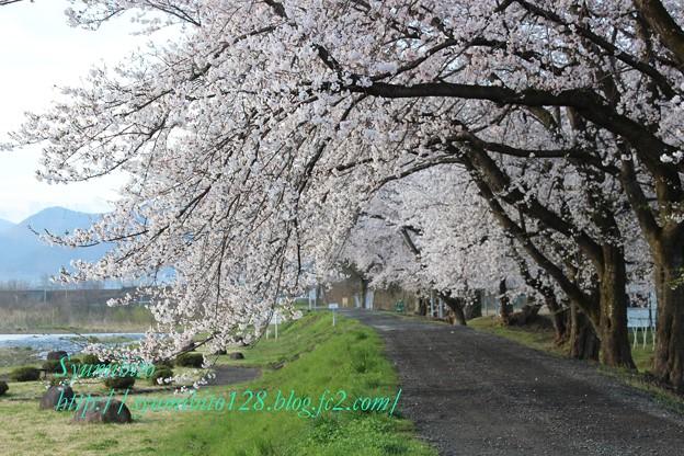 2013年 桜回廊