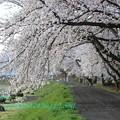 Photos: 2013年 桜回廊