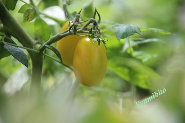 我が家のトマト (アイコ)