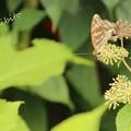 Photos: ウドの花
