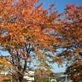 Photos: 2013年「11月 桜 紅葉