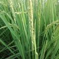 Photos: 稲の花って見たことありますか?