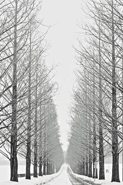 写真: 『モノトーン』 ~滋賀県 メタセコイア並木~
