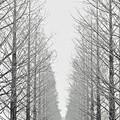 『モノトーン』 ~滋賀県 メタセコイア並木~