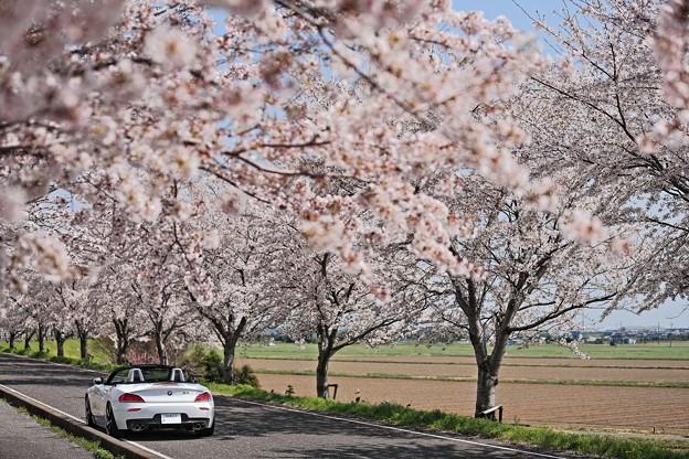 写真: 『桜梅桃季』