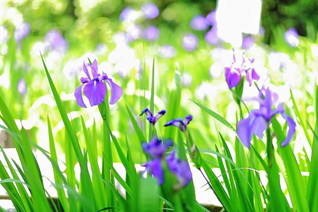 写真: 『涼。。。』 ~無量寿寺 カキツバタ~