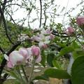 リンゴ(津軽)1