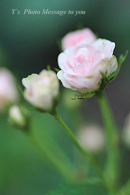 近づいて    リトルウッズ  ソフトピンクの薔薇