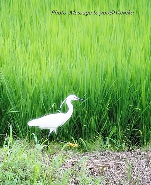 白鷺 ウオッチング 2