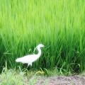 Photos: 白鷺 ウオッチング 2