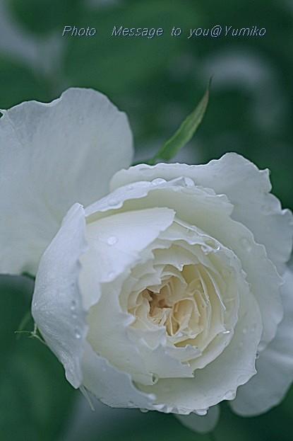 愛すべき白薔薇しずく