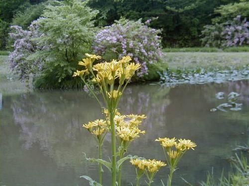 サワオグルマと池