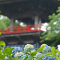 雨のあじさい寺