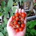 Photos: 本日の収穫 2013.07.25