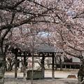 手水舎と桜の木