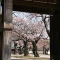 山門と桜の木
