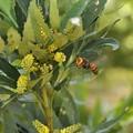 細葉柊南天(ほそばひいらぎなんてん)にスズメバチ(2)