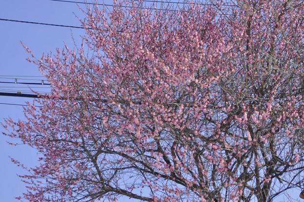 西武多摩湖線の線路沿いに咲いていた梅?