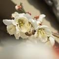 Photos: 梅の香に誘われて