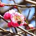 春まで待てない・・紅梅ない