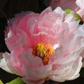 ピンク牡丹3