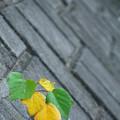 Photos: ブロック塀の紅葉