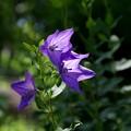 写真: 桔梗の花