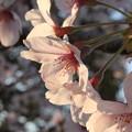 Photos: 夕焼け空の桜顔