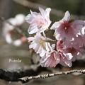 Photos: 秋に桜