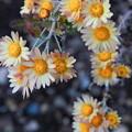 Photos: の菊