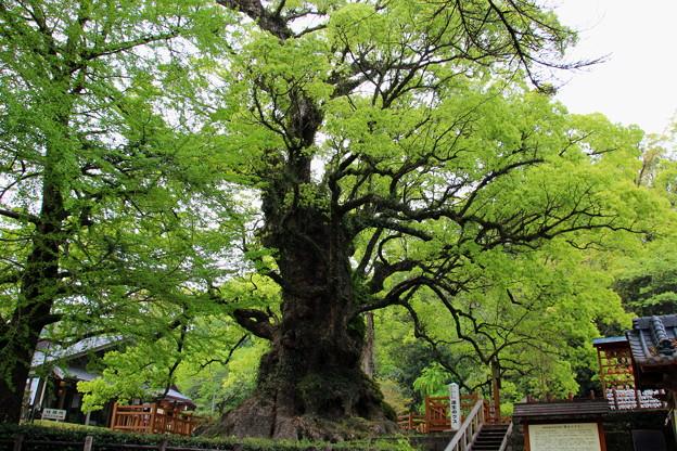 トトロの木♪