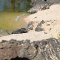 写真: ガラパゴスアザラシたち