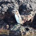 Photos: ガラパゴスペンギン、赤道直下のペンギン