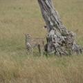 写真: チーター。これもレア動物