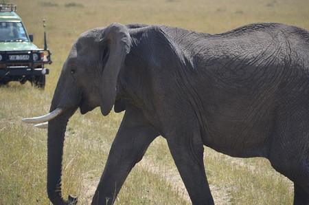 ゾウ。大迫力、野生のゾウはキレイでした