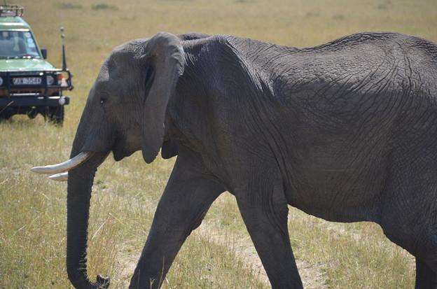 Photos: ゾウ。大迫力、野生のゾウはキレイでした