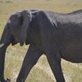 写真: ゾウ。大迫力、野生のゾウはキレイでした