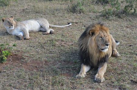 ライオン夫婦。最後の最後に出会えて感激しました