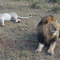 写真: ライオン夫婦。最後の最後に出会えて感激しました