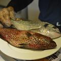 写真: なんと刺身が醤油で食べられる。値段は1匹1000円前後と高いが