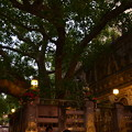 ブッダが悟りを開いたマハーボディー寺院の裏の菩提樹