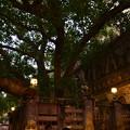 写真: ブッダが悟りを開いたマハーボディー寺院の裏の菩提樹